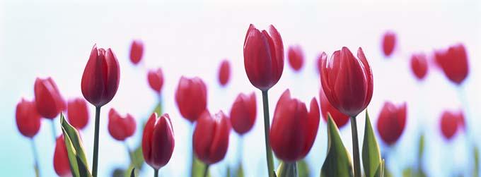 tulips_may